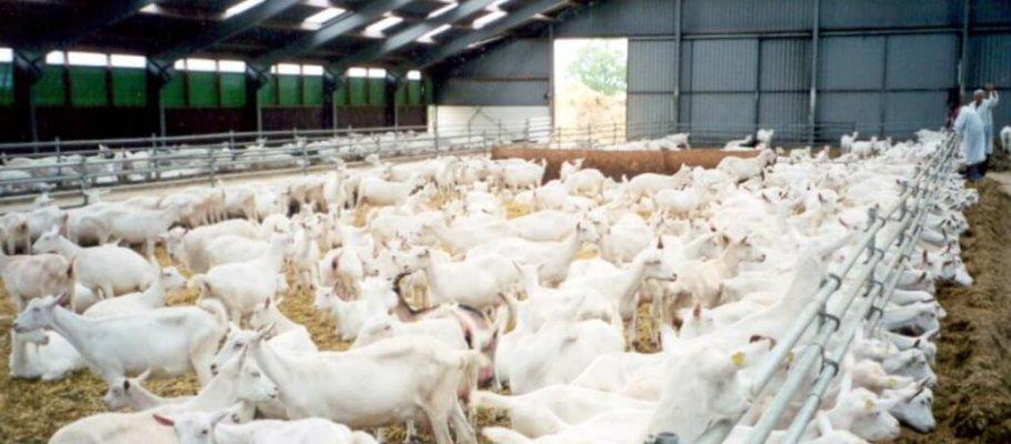 В Курганской области создается козья ферма
