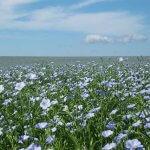 Выращенный лен аграрии Барабинского района продадут китайцам