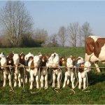 Коровы-француженки из Северной Осетии переезжают в Самару