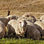 В Кемеровской области будут готовить дипломированных специалистов-овцеводов