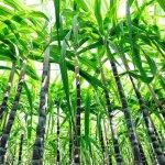 Сахарный тростник, растение способное расширить производство сахара. Выращивание, сахарного тростника, уборка, переработка
