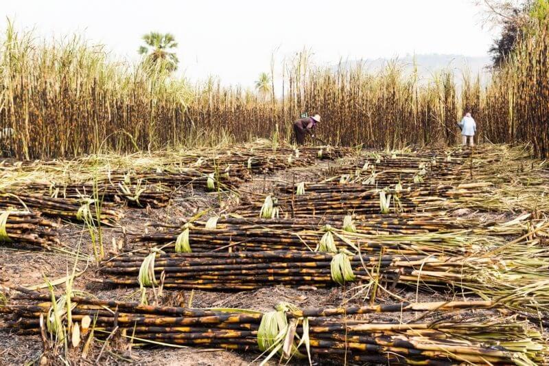 Уборка сахарного тростника