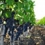 «Винная деревня» – сельскохозяйственный кооператив открылся в пригороде Анапы