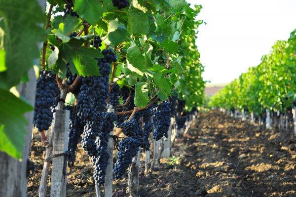 Под Анапой открылся винодельческий кооператив