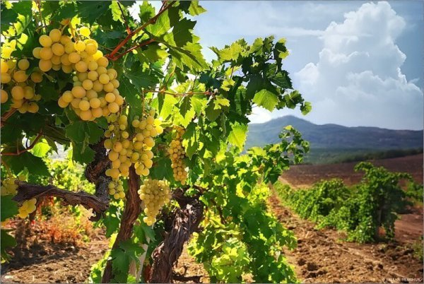 Ставропольский край начал собирать виноград