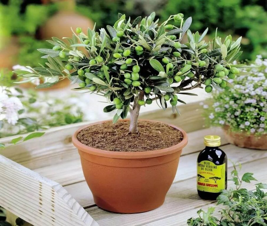 Оливковое дерево в горшке
