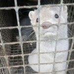 В Карельском зверосовхозе ЗАО «Пряжинское» норки и лисы погибают от голода