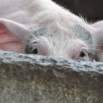 Африканская чума свиней из Омской области перешла на территорию Красноярского края