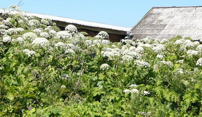 Владельцев садоводческих участков призывают бороться с борщевиком Сосновского