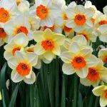Главное о выращивании нарциссов: сорта, посадка и уход