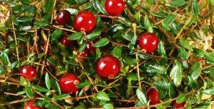В Архангельской области разбивают плантации клюквы