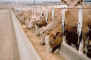 корма для коров на основе сырого зерна разработали алтайские ученые