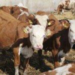 В Приамурье появилась еще одна племенная животноводческая ферма