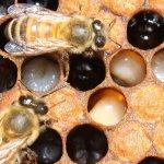 У сахалинских пчел нашли возбудителей опасных заболеваний