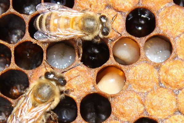 На САхалине пчелы в Тымовском районе заражены клещами