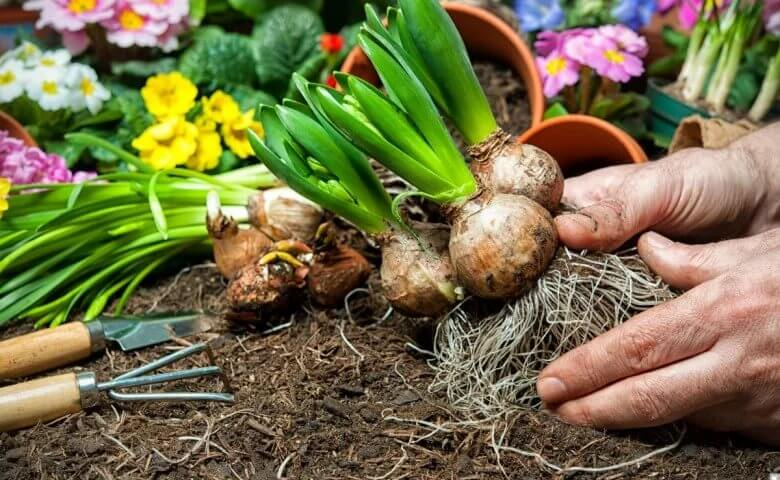 Высадка луковичных цветов