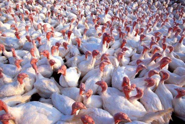 В Тюменской области введен в строй новый птицеводческий комплекс по производству мяса индейки