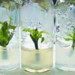 Саженцы безвирусных плодово-ягодных и эфиромасличных растений будут выращивать в Севастополе