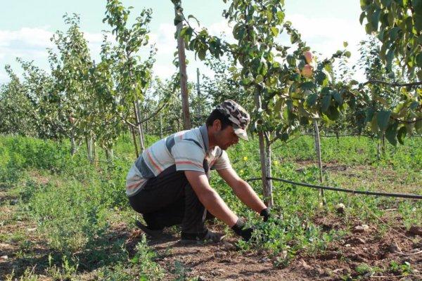 В Новгородской области расширяют сады интенсивного типа