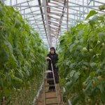 В Дагестане расширяют тепличное производство овощей