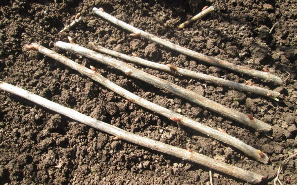 Заготовка черенков смородины