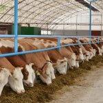 В Домодедовском округе начала работу реконструированная животноводческая ферма