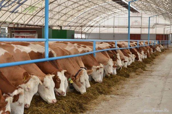 В подмосковье начала работу животноводческая ферма после реконструкции