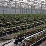 В Пензенской области создается крупнейший питомник в России по выращиванию гербер