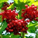 Калина красная: выращивание, заготовка, полезные свойства и противопоказания