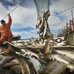 Посредников в рыбопромышленной отрасли станет меньше