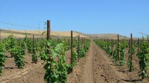 Дагестанским школьникам привиают любовь к пррофессии садовода и виноградаря