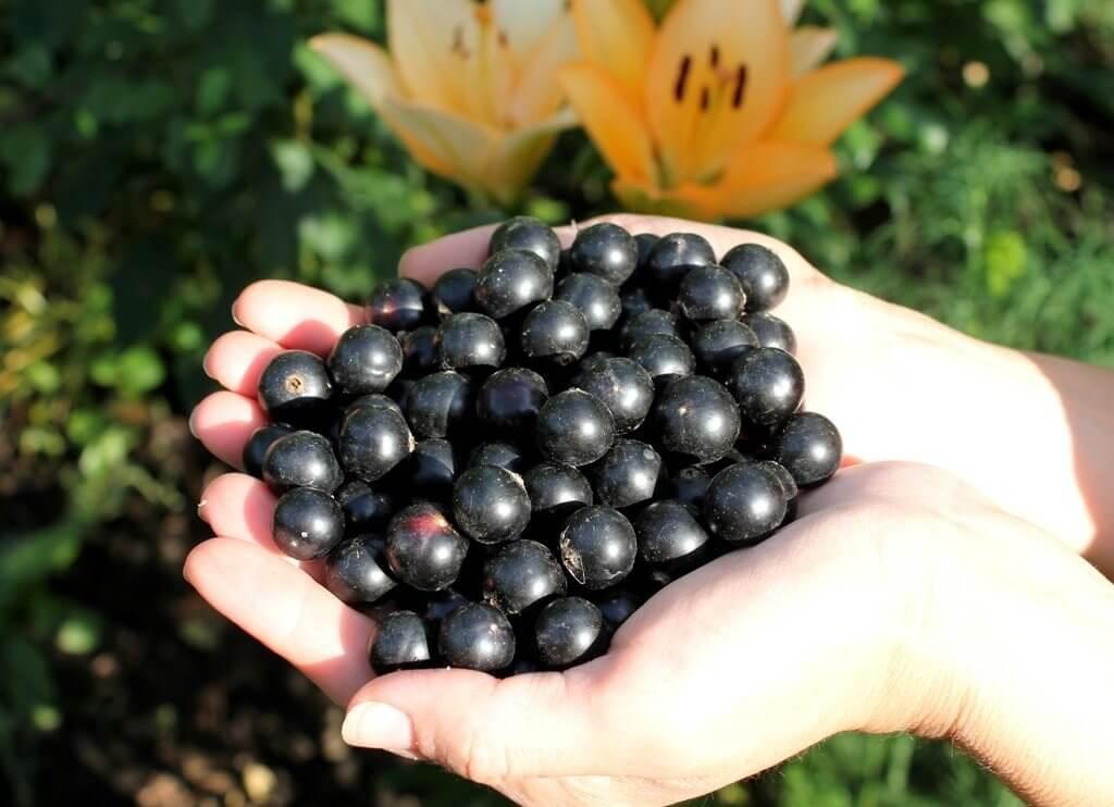 Селечинский сорт черной смородины