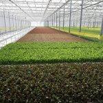 Российские сельхозпроизводители начнут выращивать рукколу