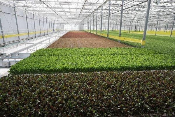 Под Кисловодском открыт тепличный комплекс по выращиванию рукколы