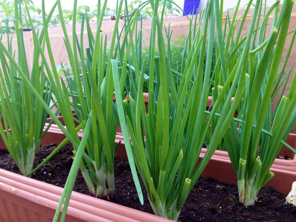 Выращивание зелени лука-батуна в домашних условиях