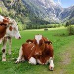 В Краснодарском крае берут направление на развитие мясного животноводства
