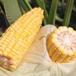 В Кабардино-Балкарской республике ученые вывели новые гибриды кукурузы