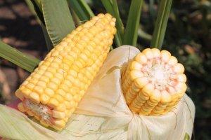 селекционерами Кабардино_Балкарии выведено 4 новых гибрида кукурузы