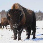В республике Саха намерены выращивать канадских бизонов