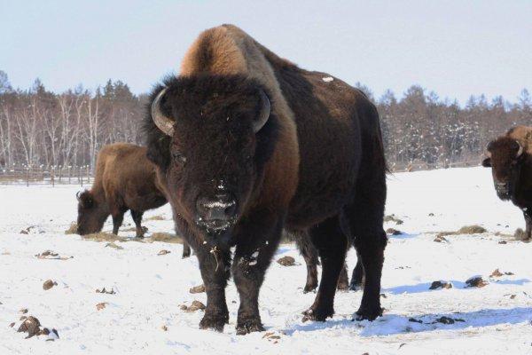 Канадские бизоны адаптируются к условиям Якутии