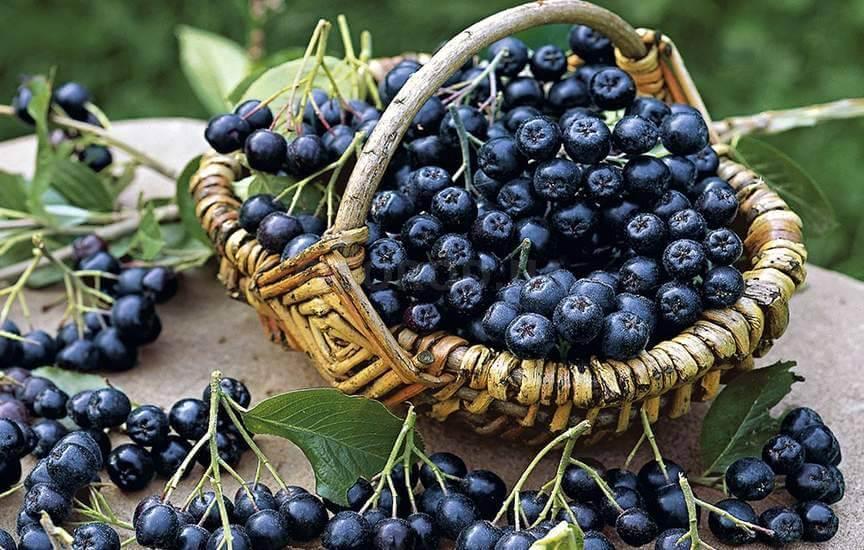 Черноплодная рябина в корзине сорт Блэк Перл