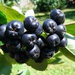 Черноплодная рябина: выращивание и полезные свойства