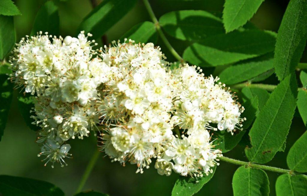 Цветение черноплодной рябины
