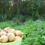 Ямальские ученые-селекционеры создадут новые сорта картошки для Крайнего Севера