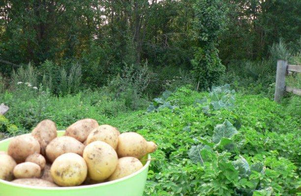 На Ямале создают новые сорта картошки