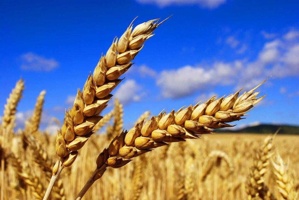 Колос яровой пшеницы