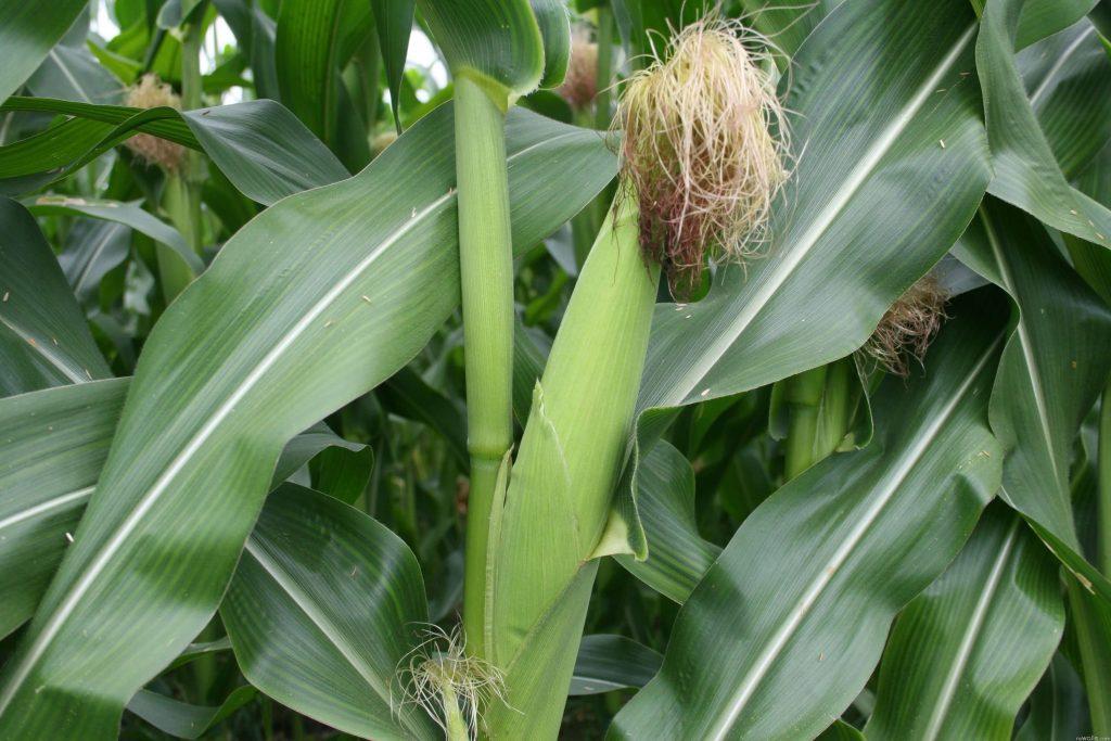 Листья, стебель и початок сахарной кукурузы