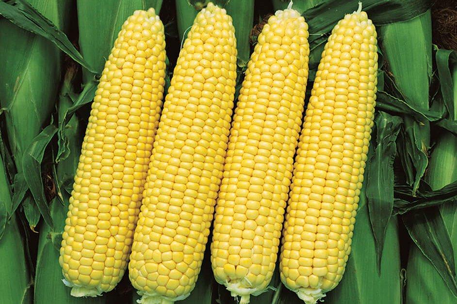 Кукуруза сахарная сорт Лакомка
