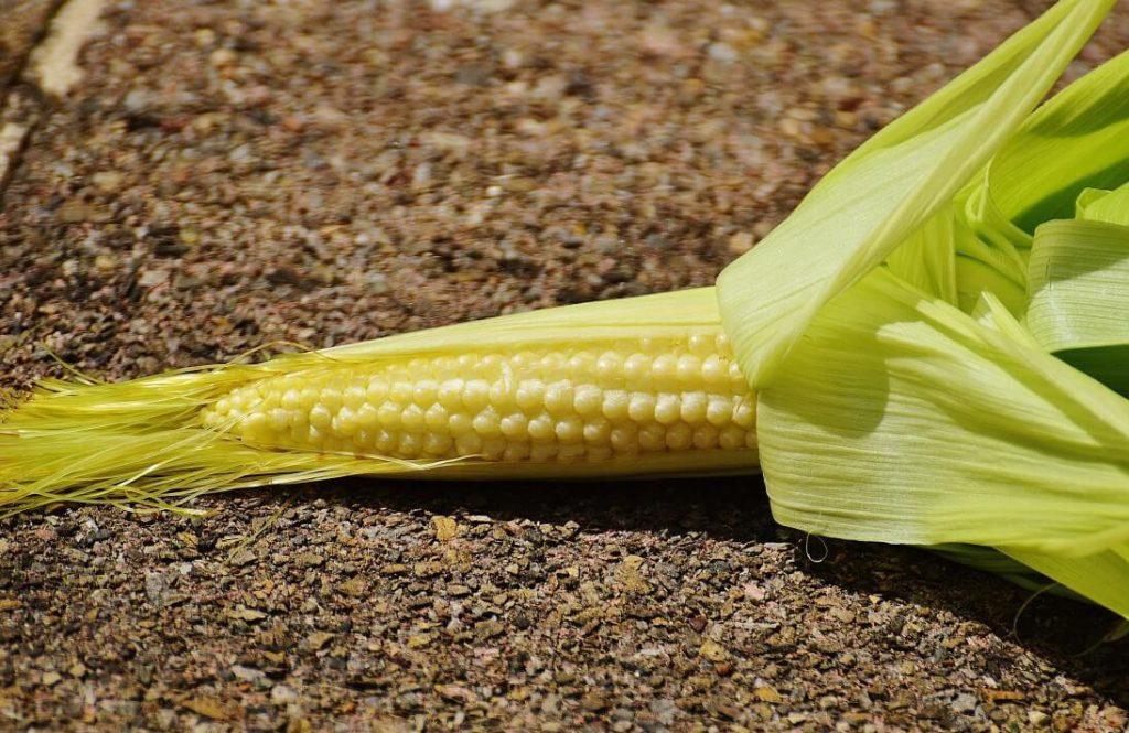 Молодой початок сахарной кукурузы