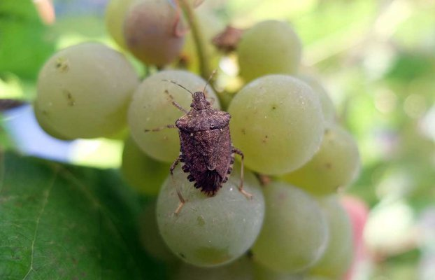 В Абхазии мраморный клом повредил половину мандариновых плантаций